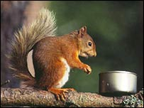 BBC NEWS | UK | Reserves hope for red squirrels