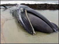 Stranded whale - picture by Sarah Money