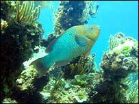 Rainbow parrotfish, C Dahlgren