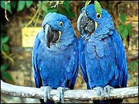 Two hyacinth macaws   rspb-images.com