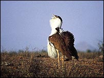 Great Indian bustard   Asad Rahmani