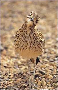 Stone curlew   Paul Glendell/English Nature