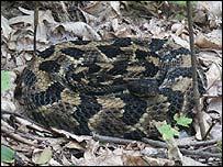 Timber rattlesnake     Rulon Clark