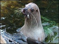 Steller sea lions, BBC