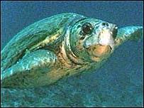 Loggerhead turtle   BBC