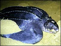 Leatherback on beach   Matthew Godfrey