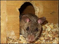 Eusibio the rat