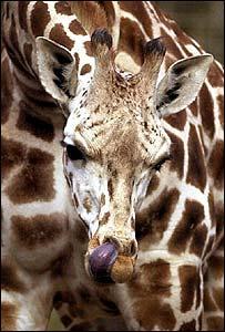 Sapphire the giraffe