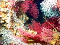 Coral Nurc