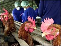 Pollos listos para ser sacrificados.