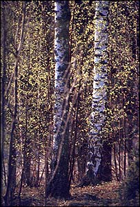 Silver Birch