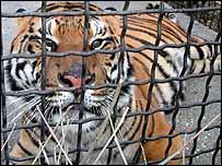 Raj the tiger