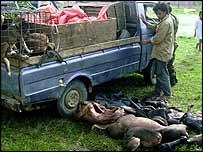 Truck unloading dead babirusa   Lynn Clayton