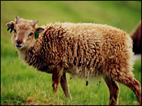 Soay sheep/Ardnamurchan Charters