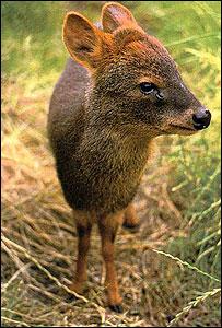 Pudu deer - generic