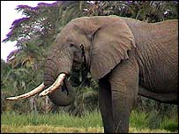 Adult African elephant   Ifaw