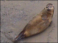 The seal near Richmond Bridge