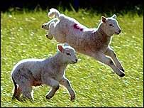 Two gambolling lambs   PA