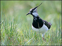 Lapwing - RSPB