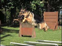 Alsatian in training