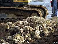 Dead sheep awaiting disposal   AP