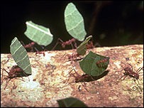 Leafcutter ants, Earth birthday project