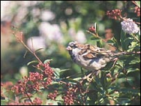 Sparrow in bush