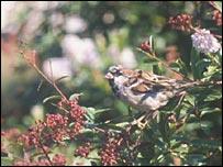 Sparrow in bush