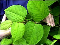 Japanese knotweed   PA