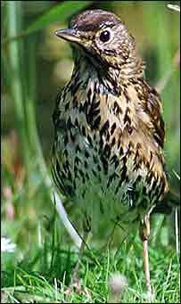 Song thrush   Rob Nottage/BTO