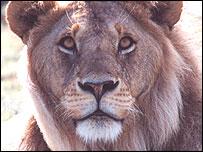 Lion, Nature