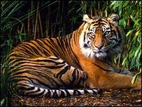 Sumatran tiger, WWF