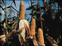 GM Maize, Bcs