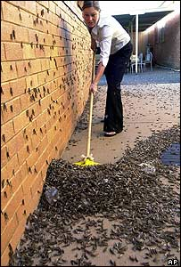 Karen Spellman sweeps up locusts in the central New South Wales town of Dubbo