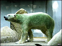 Green polar bear Inuka at Singapore zoo