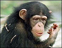 Chimpanzees carry viruses and feces which can jump to humans
