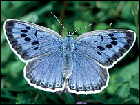 Large blue butterfly Photo &#169; Martin Warren/Butterfly Conservation