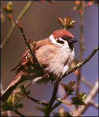 Tree sparrow   Photo � Tommy Holden/BTO