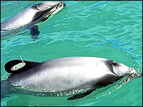 Dolphins (Image courtesy New Zealand Department of Conservation)