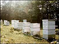 Beehives in field   BBC