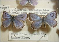 Large blue butterfly, BBC