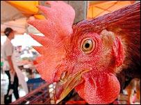 Chicken, AP