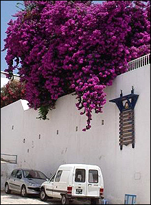 Purple flowers overhang a whitewashed wall in Sidi Bou Said, Tunisia