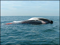 The dead whale in the Solent