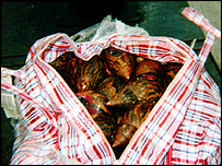 Giant African snails in bag   Bushmeat Campaign