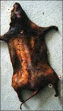 Dead grass cutter (a giant rat)   Bushmeat Campaign