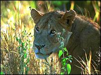 Serengeti Lion, BBC