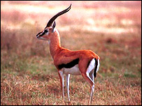 Thompsons Gazelle, BBC