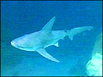 Shark, BBC