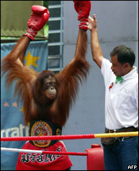 An orang-utan boxer at Safari World